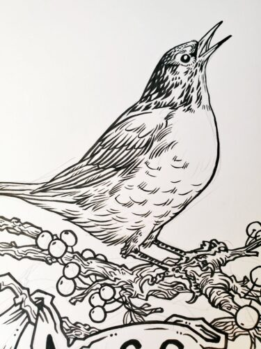 In progress inks for a drawing of an American robin